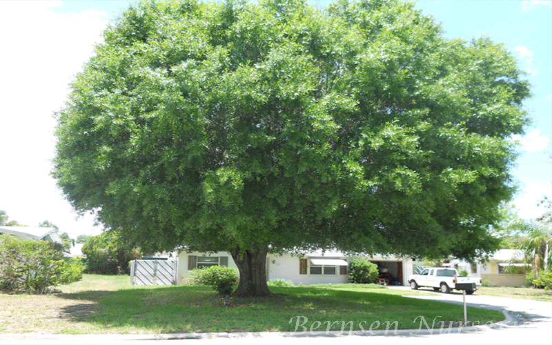 Wholesale Laurel Oak Tree Naples
