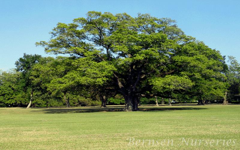 Planting Live Oak Tree Acorns : Wholesale live oak tree naples
