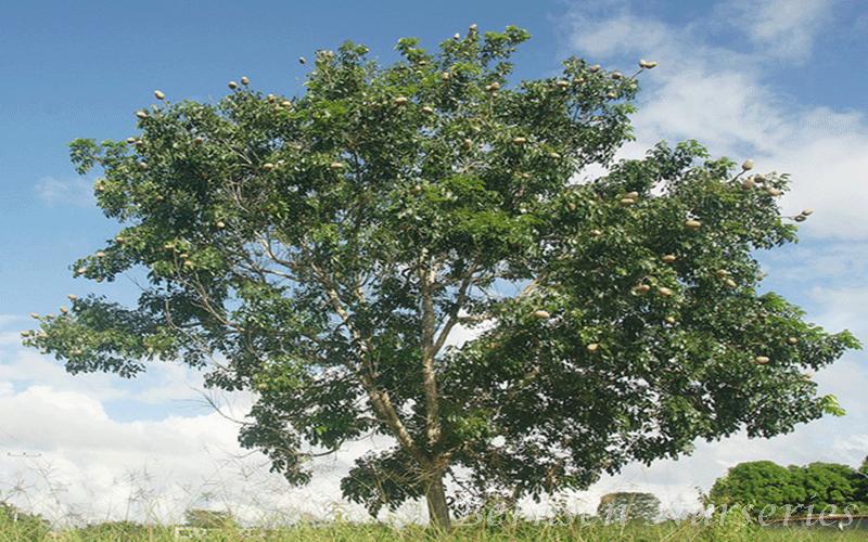 Wholesale Mahogany Tree Naples
