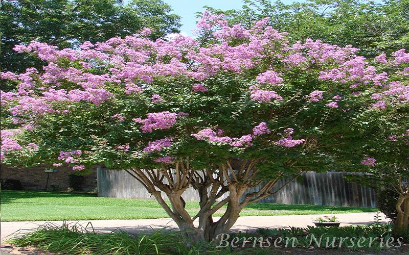 queen tree